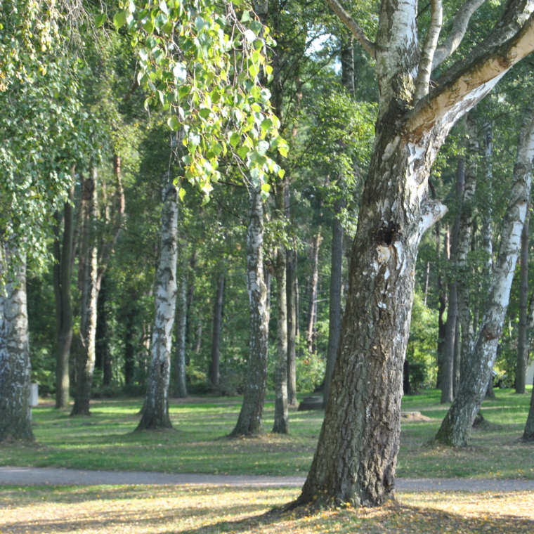 Mischwald mit Kiefern und Birken